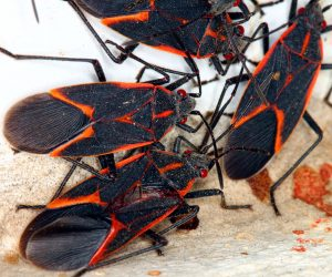 Group of Orange and Black Bugs